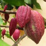 kakao bean